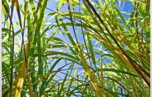 Miscanthus - Plante