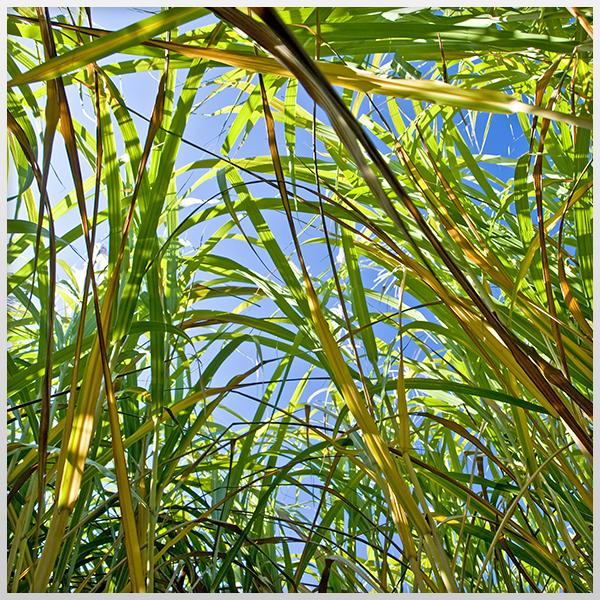 Miscanthus – Plante